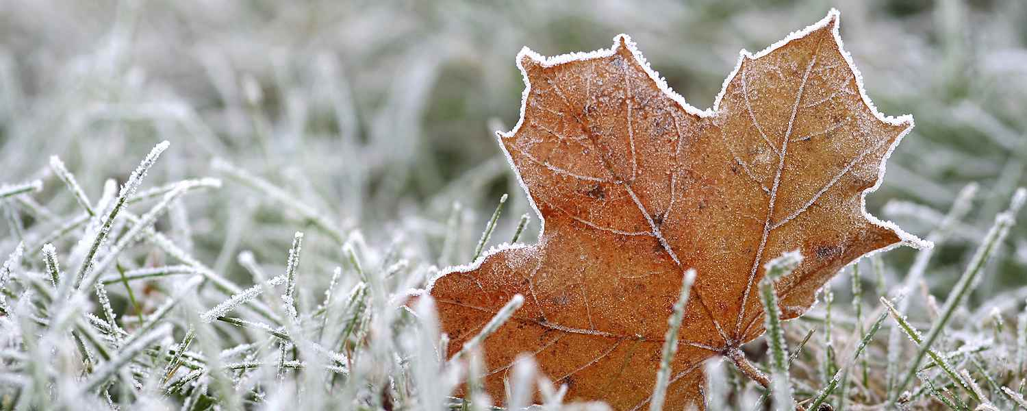 Frosted grass and leaf