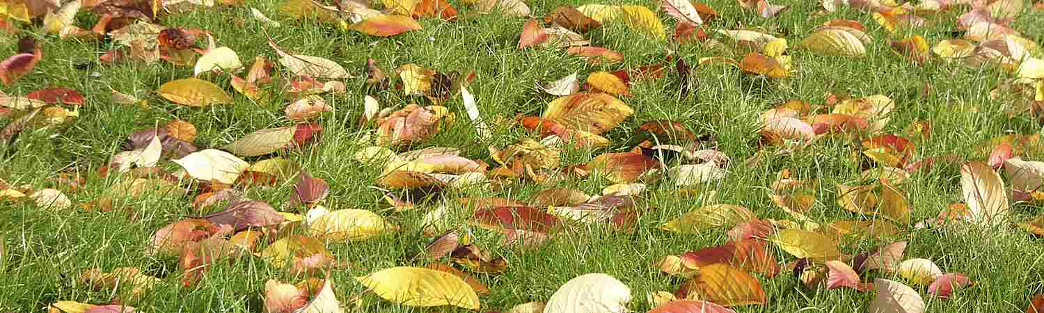Fall Leaves on Lawn