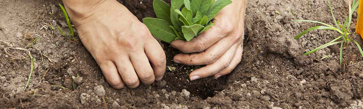 Hands Planting Sapling in Ground