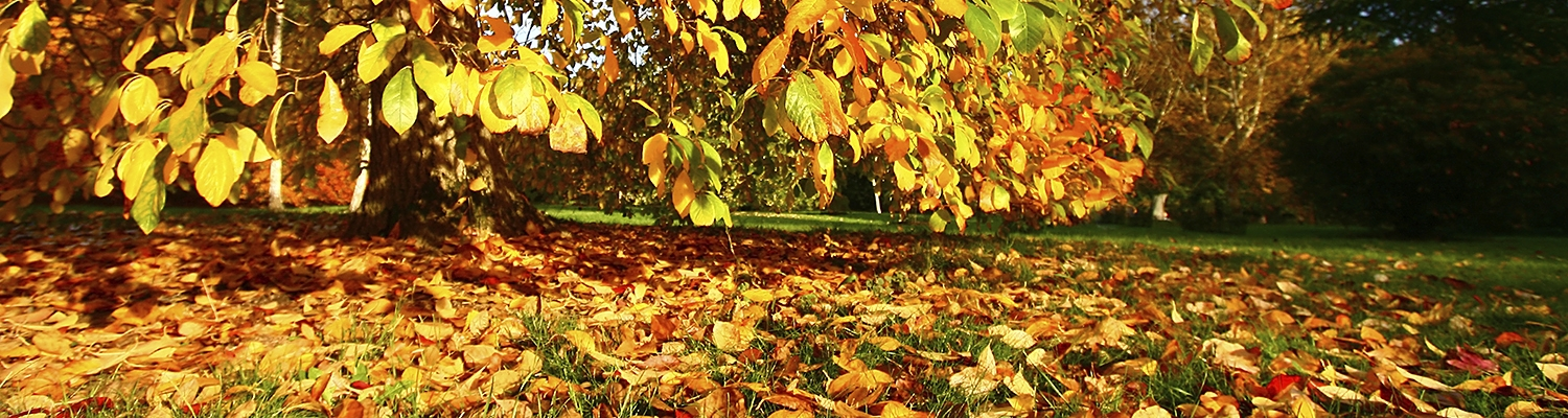Fall leaves that need to be collected
